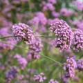 verbena flower background